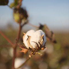 Fields on cotton ready for harvesting in Oakey, Queensland