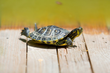 Turtle sunbathing on a wooden bridge by the pond