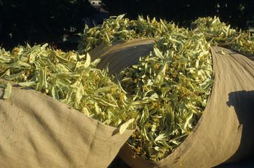 Tilia silvestris / Tilleul / Récolte à la foire de Buis les Baronnies