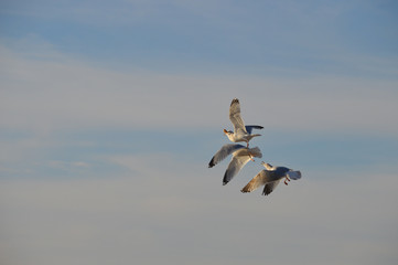 Seagulls chasing gull with bread in beak