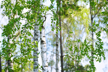 Wall Mural - Young slim thin birch trees in the spring in the forest. Branches of birch trees with young juicy leaves in the summer sun in the open air.