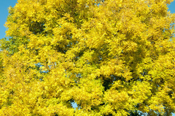 Autumn yellows on the trees in Worcestershire, United Kingdom.