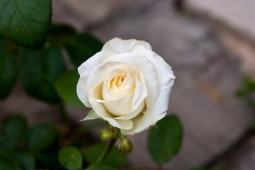 White rose in the garden