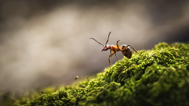 Forest ant closeup