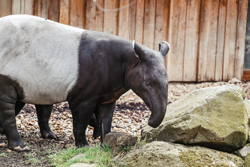 Black and white Tapir or Tapirus indicus endangered species living in Asia in the main Thailand