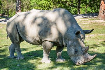 Beautiful rhinoceros portrait eating grass