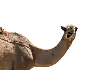 funny looking smiling camel isolated on a white background
