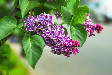 Garden Poster Lilac Blooming varietal selection two-tone lilac (Syrínga). The Sort Of