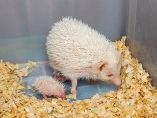 White Hedgehog with Babies in Plastic Bucket [Atelerix frontalis]