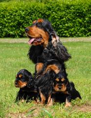 Mom and puppies English Cocker spaniel dog.