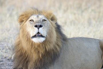 Adult male lion (Panthera leo) roaring, Serengeti National Park, Tanzania