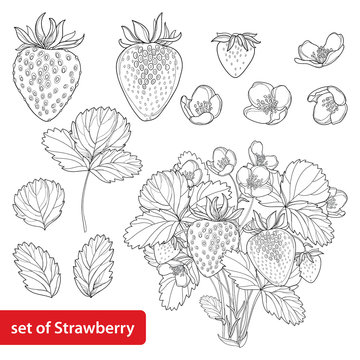 Vector set with outline Strawberry, bush, berry, flower and leaves in black isolated on white background. Fruit elements with strawberry in contour style for healthy summer design and coloring book.
