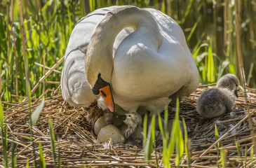 Mute swan, Cygnus olor, on nest with Cygnets and eggs