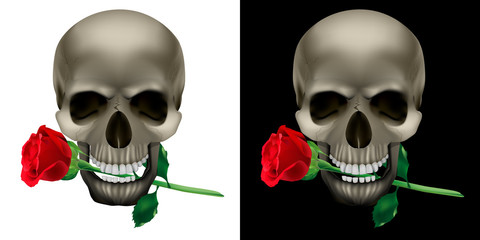 Realistic Skull with a rose in the teeth. Isolated object on white and black backgrounds.