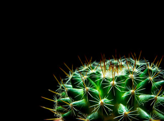 Vivid green of  Mammillaria Cactus on black background