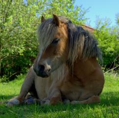 Lying pony