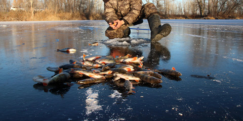 Fisherman hands fishing European perches at an ice hole on the first lake ice