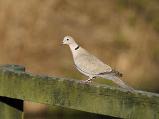 Fotoväggar - Collared dove, Streptopelia decaocto