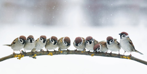 panoramic picture with many little funny birds sitting in the Park on a branch in snow