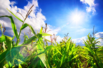 Corn field with the bright sun, blue sky, white clouds and beautiful lens flare Fotoväggar