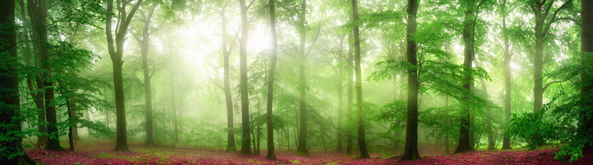 Wall Mural - Green forest panorama with soft rays of light falling through fog and flattering the fresh foliage