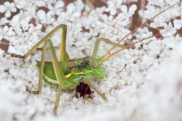 A bush cricket on a wild flower