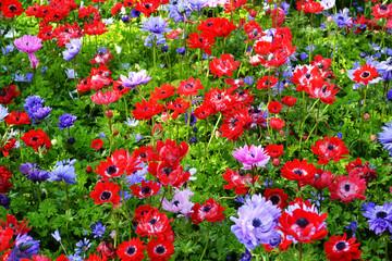 Beautiful multicolored flowers in the Keukenhof garden, Holland Netherlands