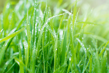 Green grass with dew drops in early morning. Sun rays on the background.