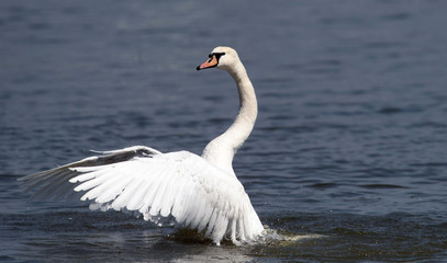 Angry wild swan splashing , mute swan spreads its wings on Danube river in Zemun, Belgrade, Serbia