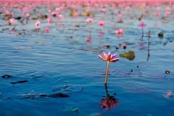 Red Lotus Lake Udon Thani