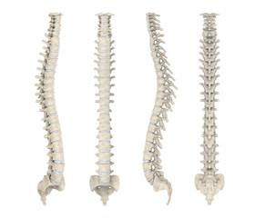Human Spine Anatomy Isolated