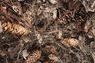 Coniferous carpet of pine cones and pine needles in the forest