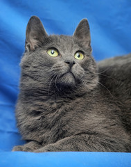 Beautiful gray cat on a blue background