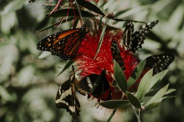 Butterflies on red flower