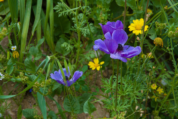 Wild forest flowers in spring. Small blue an yellow wildflowers.