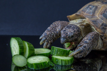 Turtle eating pile of cucumbers
