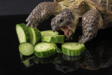 Turtle eating pile of cucumbers