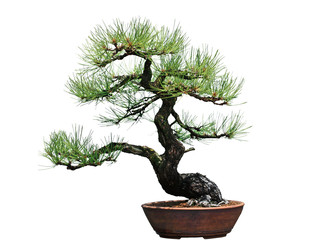 Ponderosa Pine Bonsai Tree