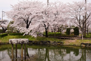 Cherry blossom in the lake