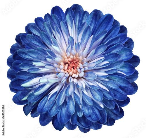blue white flower chrysanthemum garden flower white isolated