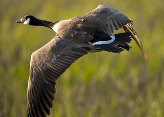 Canada goose, seen flying over a North California marsh