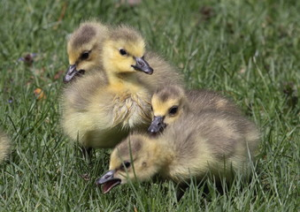 Baby Geese Pile