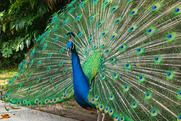 Portrait of beautiful peacock showing it feathers