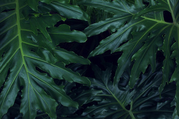 Real tropical leaves background, jungle foliage