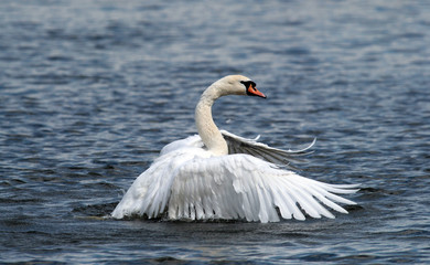 Angry wild swan splashing , mute swan spreads its wings on Danube river in Zemun, Belgrade, Serbia.