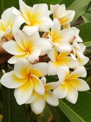 plumeria flower. plumeria flower in garden