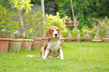 Purebred beagle dog alone at home