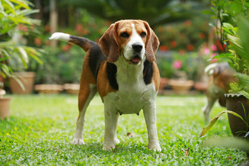 Purebred beagle dog alone at home