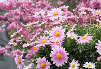 ピンク色のマーガレット、桜背景