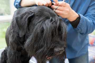 Closeup view of cutting ears of the Giant Black Schnauzer dog. All potential trademarks are removed.